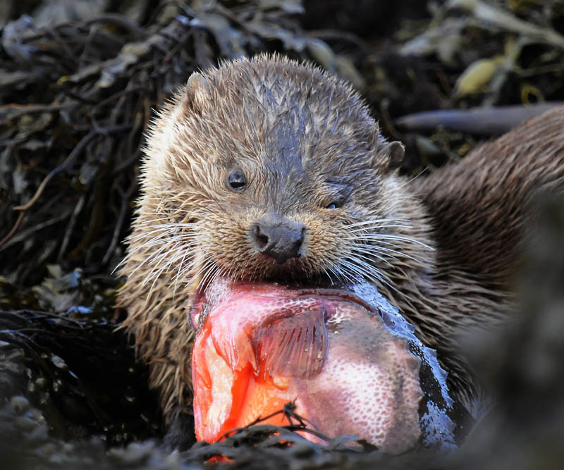 Otter and fish -   Lutra lutra