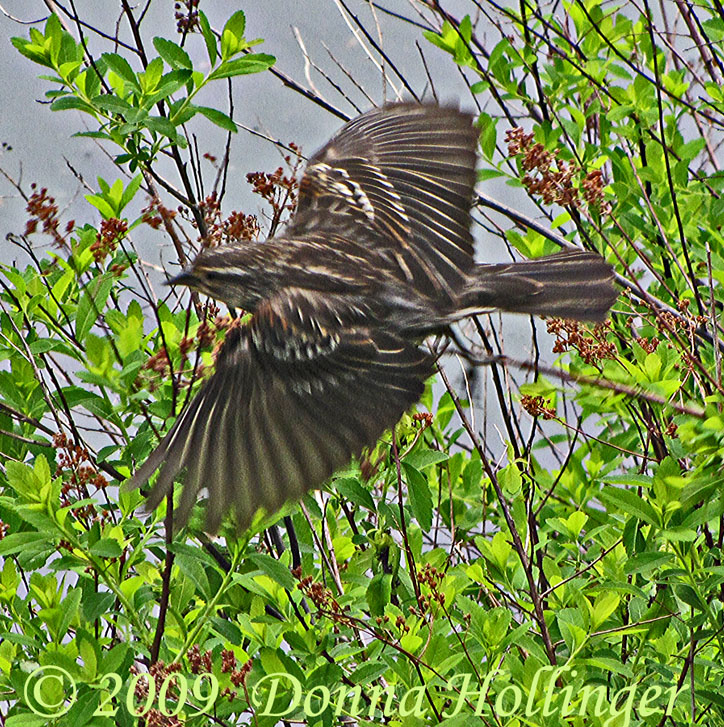Red Wing Blackbird Female