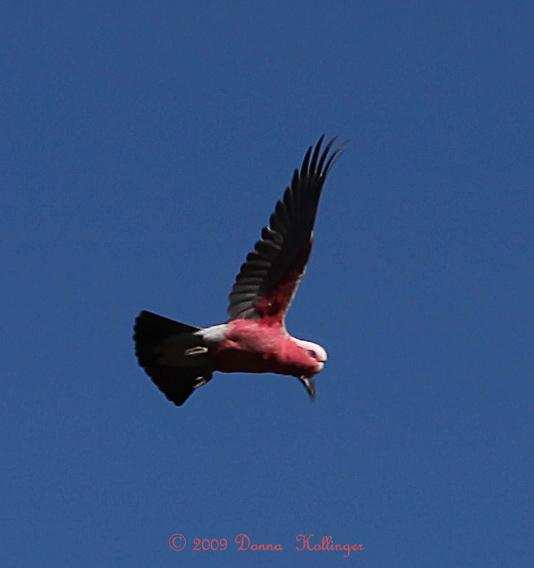 Galah Parrot Flying