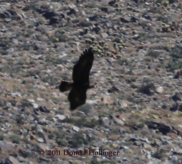 Golden Eagle Hunting