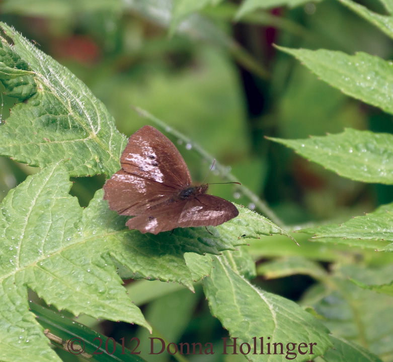 Small Brown (and white?) Butterfly