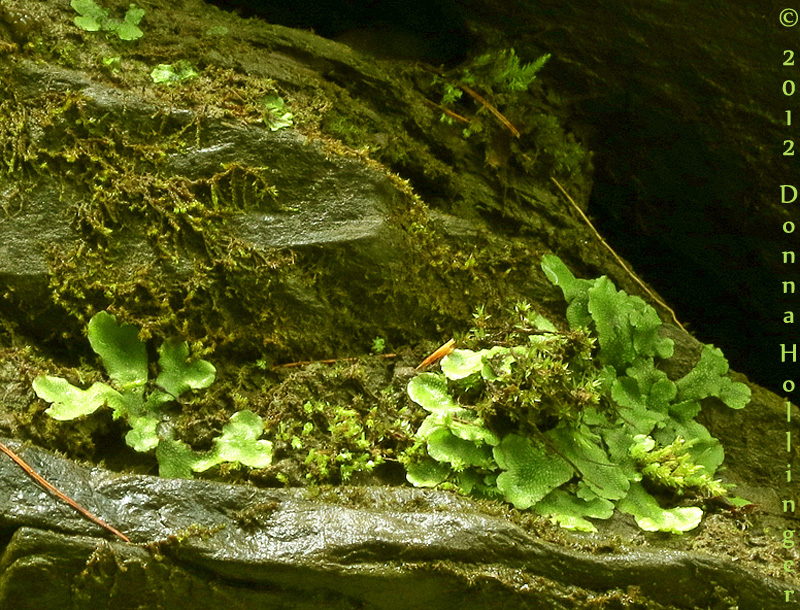 Liverwort in the White River