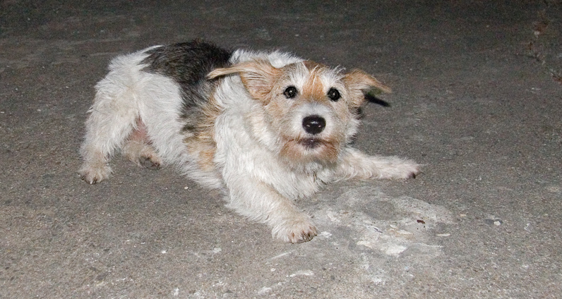 Wired Haired Jack Russell