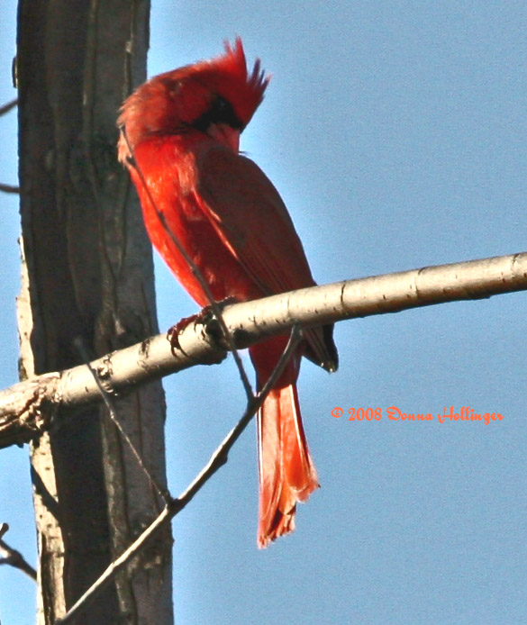 Cardinal Preening