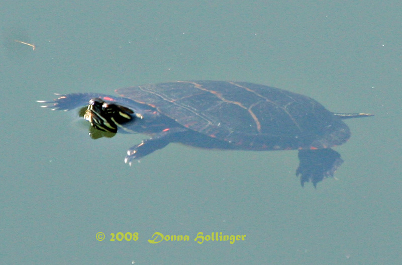 Painted Turtle Dangling in the Pond