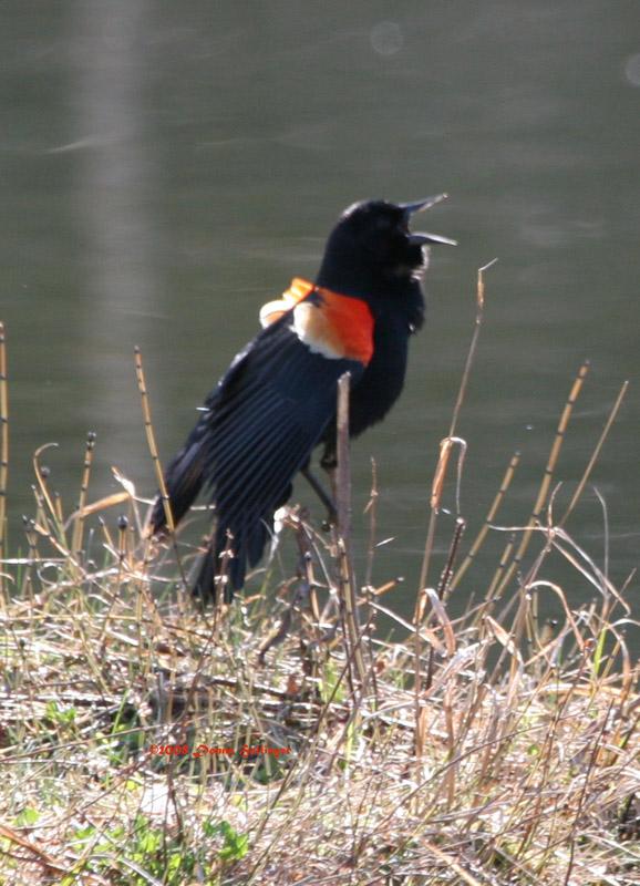 Red Winged Black Bird Defending His Territory