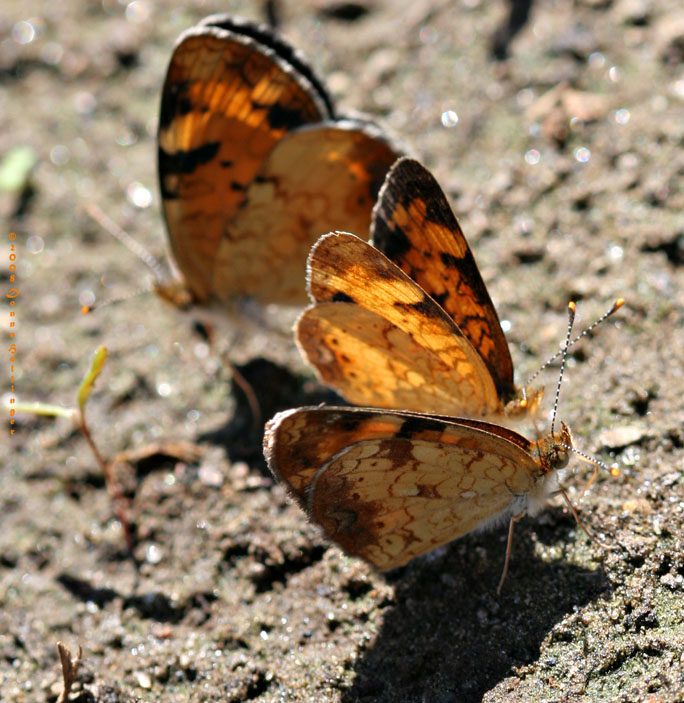 Crescent Butterflies in the garden