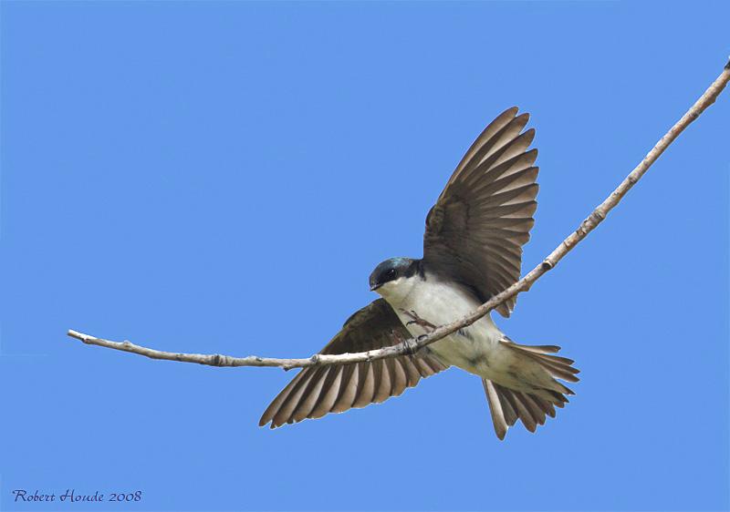 Hirondelle bicolore -- _E0K6240 -- Tree Swallow