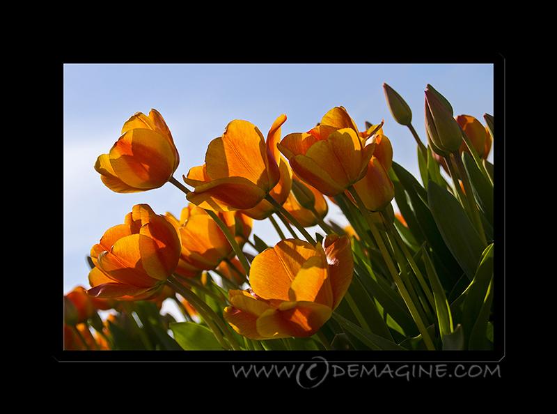Orange tulips.
