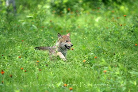 Baby wolf running