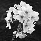 Hanami - blossom season