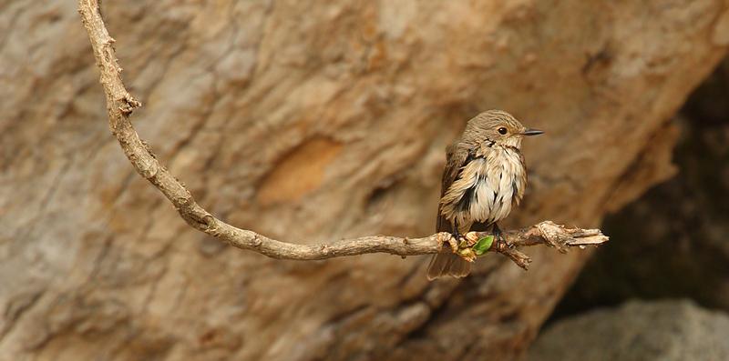 Spotted flycatcher, Samothraki, Greece, September 2008