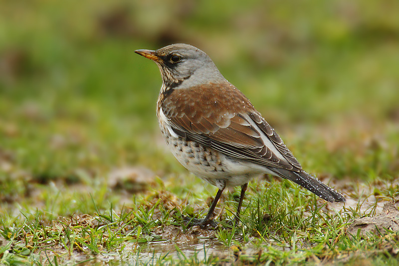 Fieldfare, Lavigny, Switzerland, December 2008