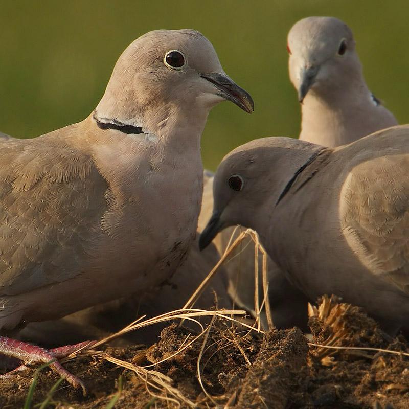 Collared dove, Saint-Prex, Switzerland, December 2008