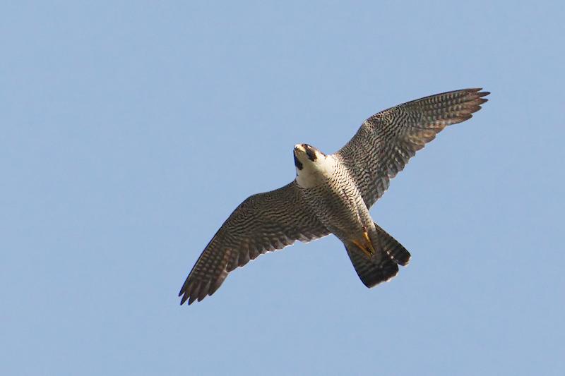 Peregrine falcon, Echandens, Switzerland, July 2009