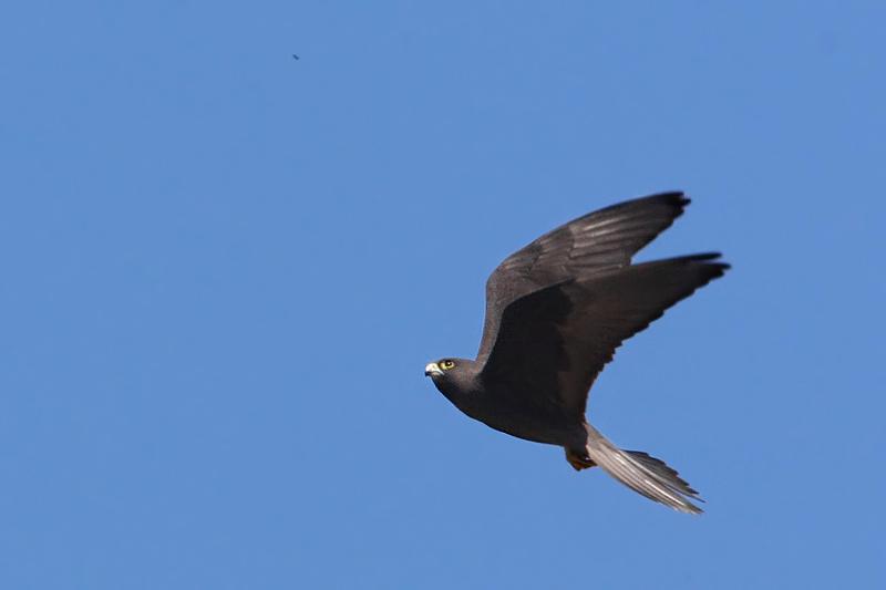 Eleonoras falcon (falco eleonorae), Voni, Crete, May 2008