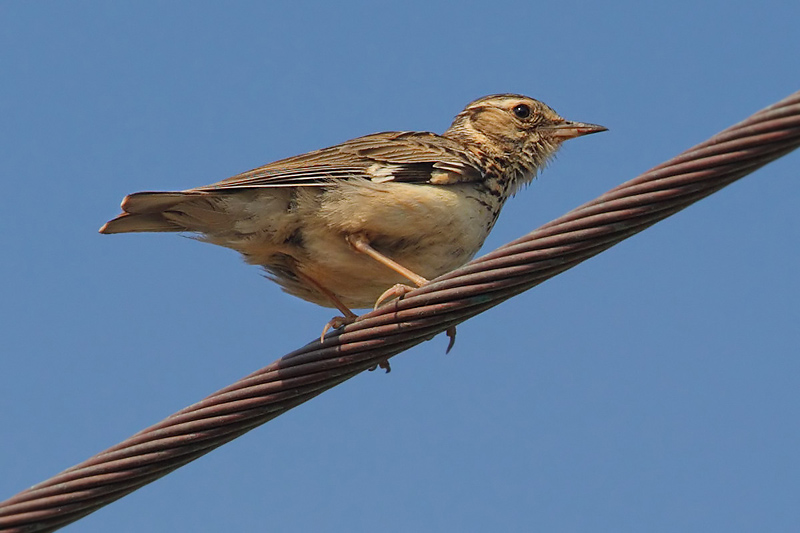 Woodlark, Achladia, Crete, May 2008