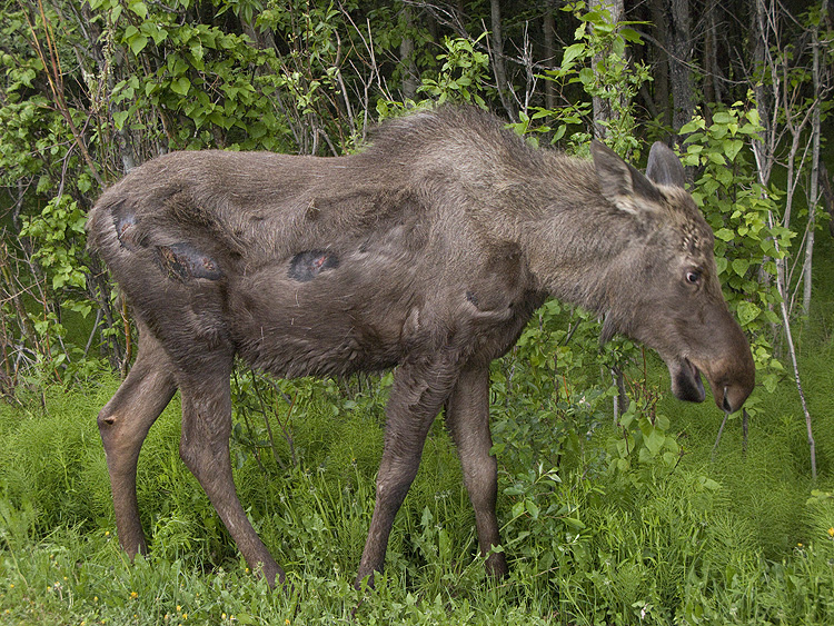 Moose with road rash