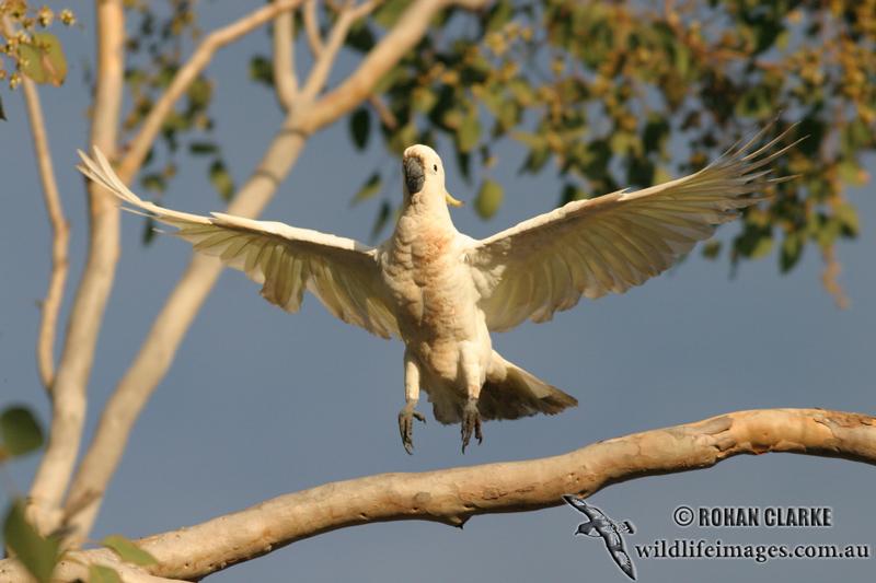 Sulphur-crested Cockatoo 6701.jpg