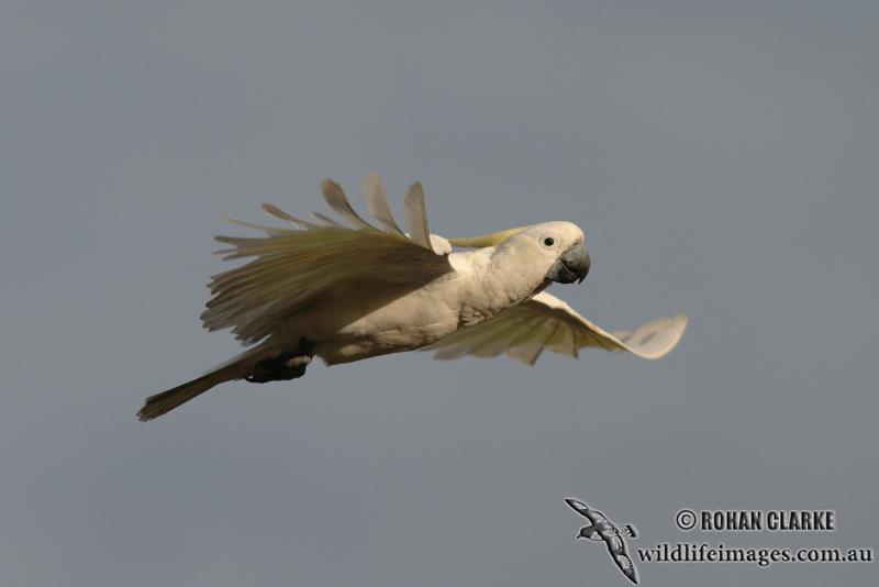 Sulphur-crested Cockatoo 6706.jpg