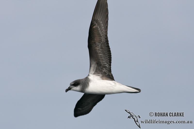 Soft-plumaged Petrel 6049.jpg