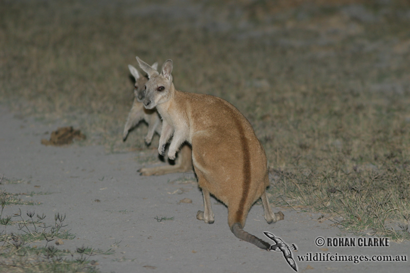 Northern Nailtail Wallaby 9029.jpg