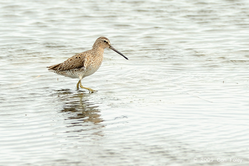 Dowitcher, Short-billed @ Chincoteague, VA