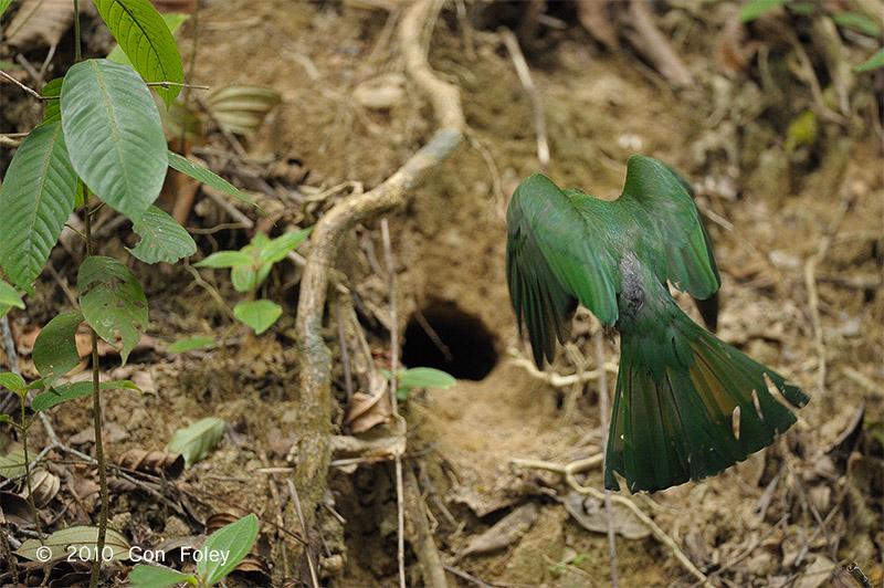 Bee-eater, Red-bearded (female)