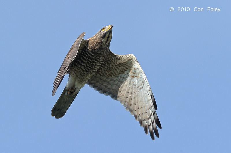Buzzard, Grey-faced (juvenile) @ Khao Dinsor