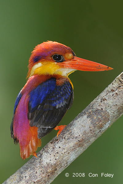 Kingfisher, Rufous-backed @ Tabin