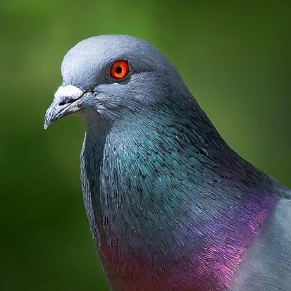 Pigeon Portrait 48558 (crop)