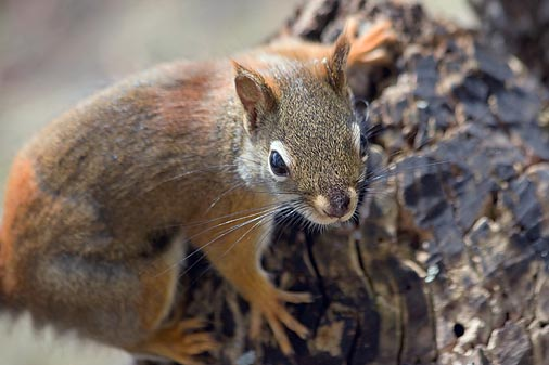 Red Squirrel On A Stump 88902