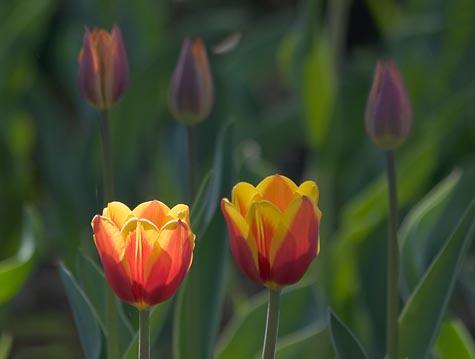 Sunstruck Red & Yellow Tulip 88990