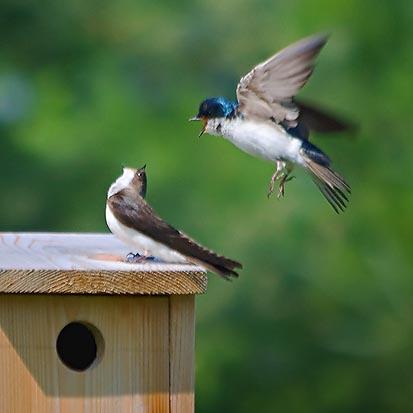 Tree Swallows & Their Bird Box 20080702