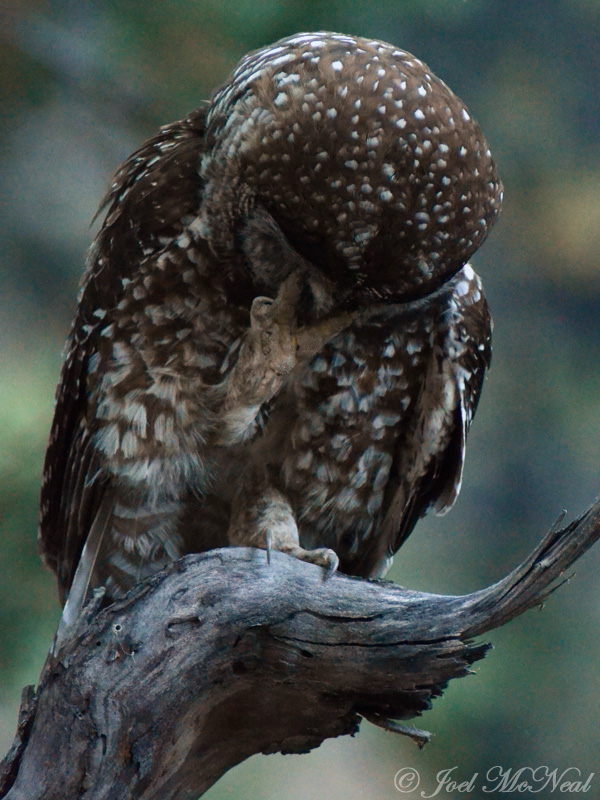 Spotted Owl (Mexican): facepalm