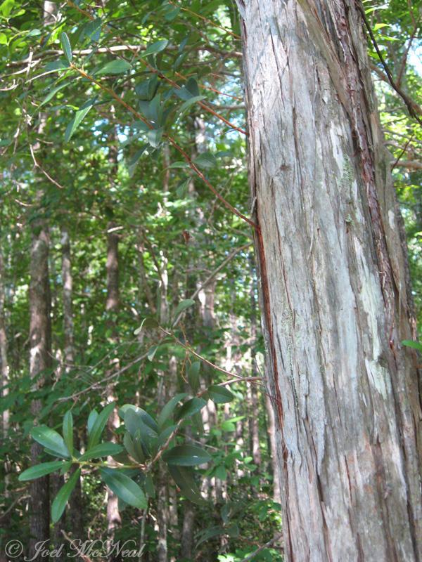 Climbing Fetterbush: <i>Pieris phillyreifolia</i>