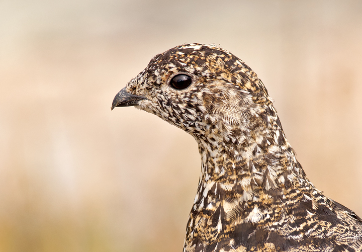 Portrait of a female White-tailed Ptarmigan