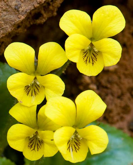 Roundleaf Yellow Violet 2