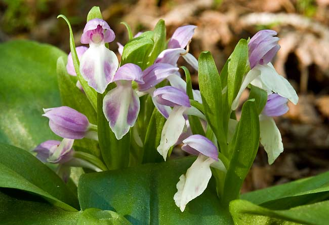 Showy Orchis 3