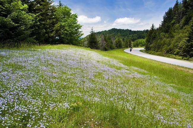 Bluets along the Blue Ridge Parkway