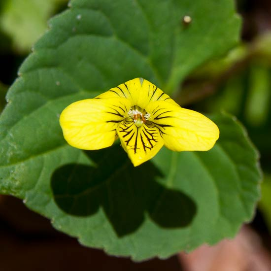 Downy Yellow Violet 1