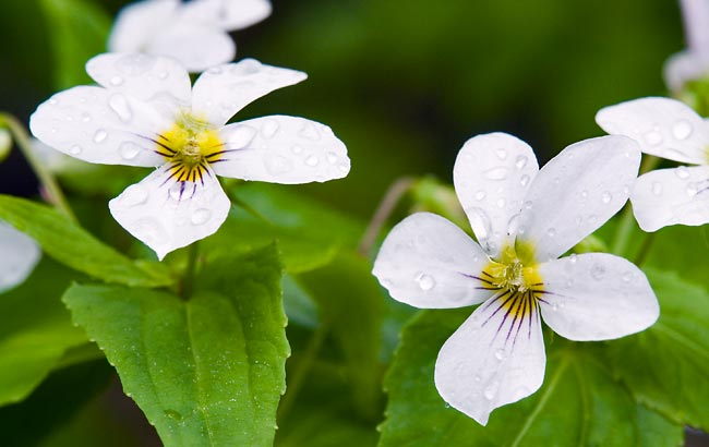 Canadian White Violet 2