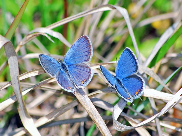Eastern Tailed-Blues