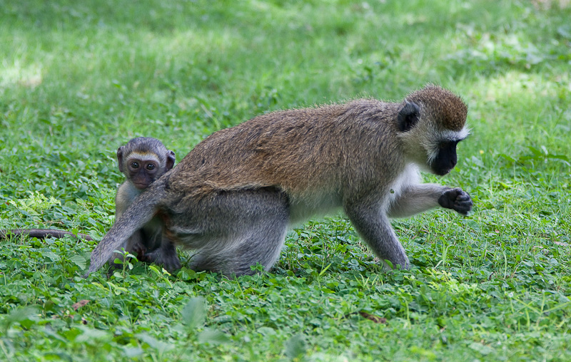 Baby Vervet Monkey Hides