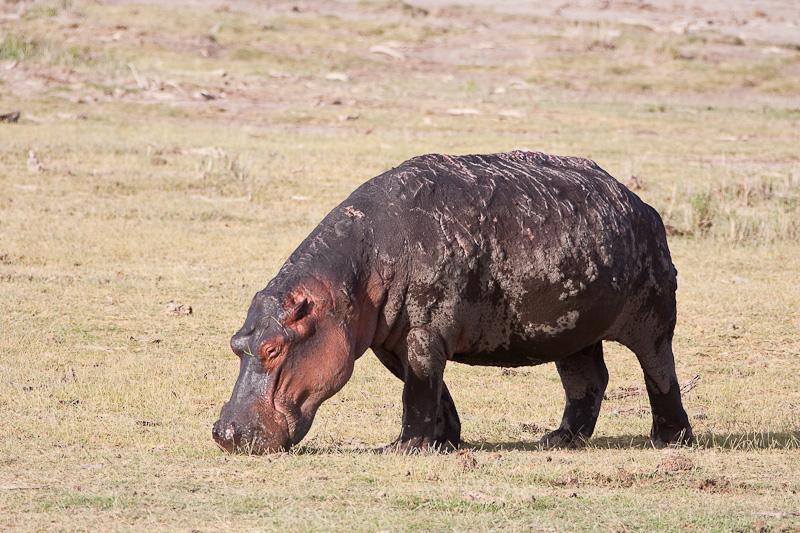 Badly Sunburned Hippo