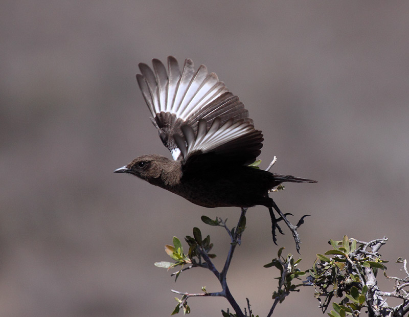 Southern Ant-eating Chat