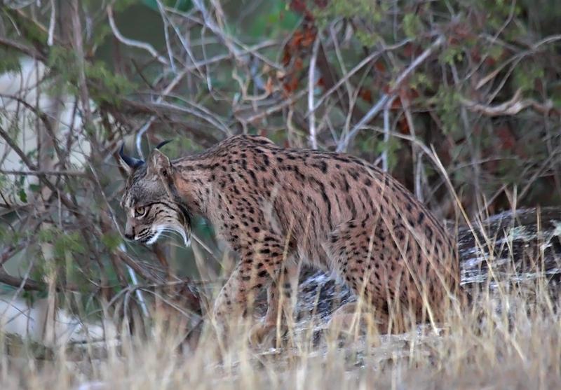 Iberian Lynx (Spain)