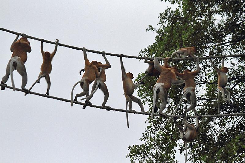 Proboscis Monkeys (Malaysian Borneo)