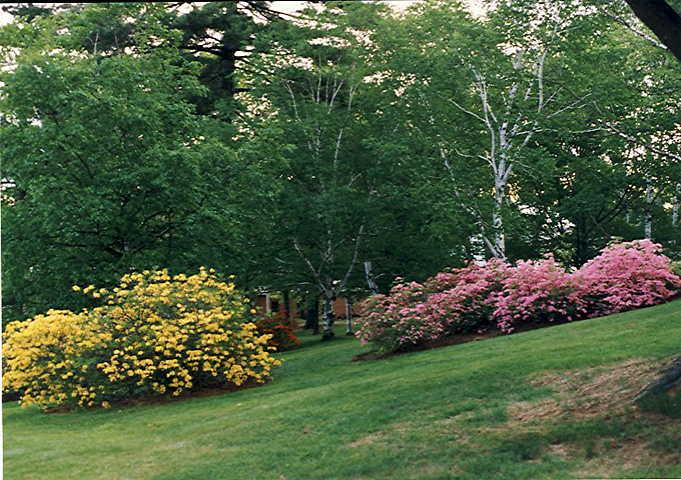 <i>luteum</I> (left),  <i>prinophyllum</i> (right)