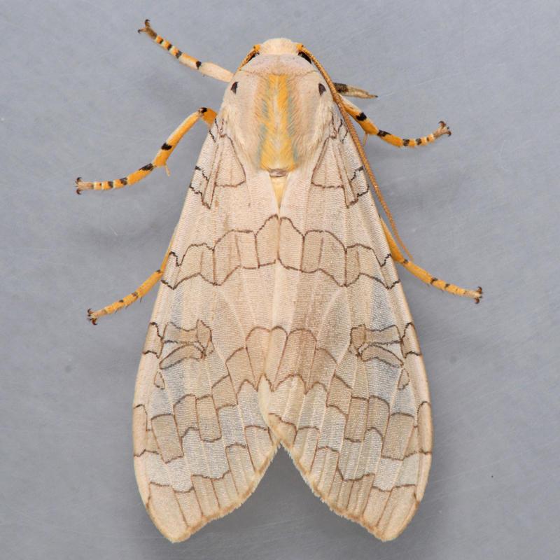 8203 Banded Tiger (Tussock) Moth - Halysidota tessellaris